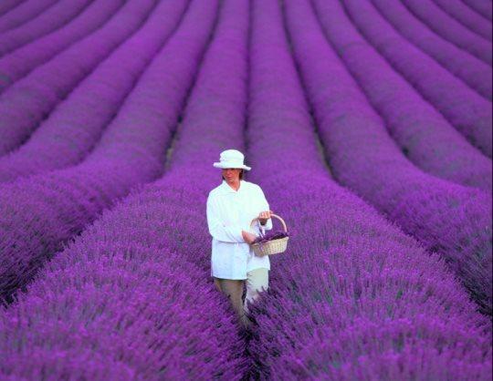 vườn hoa oải hương