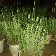 cách trồng cây oải hương