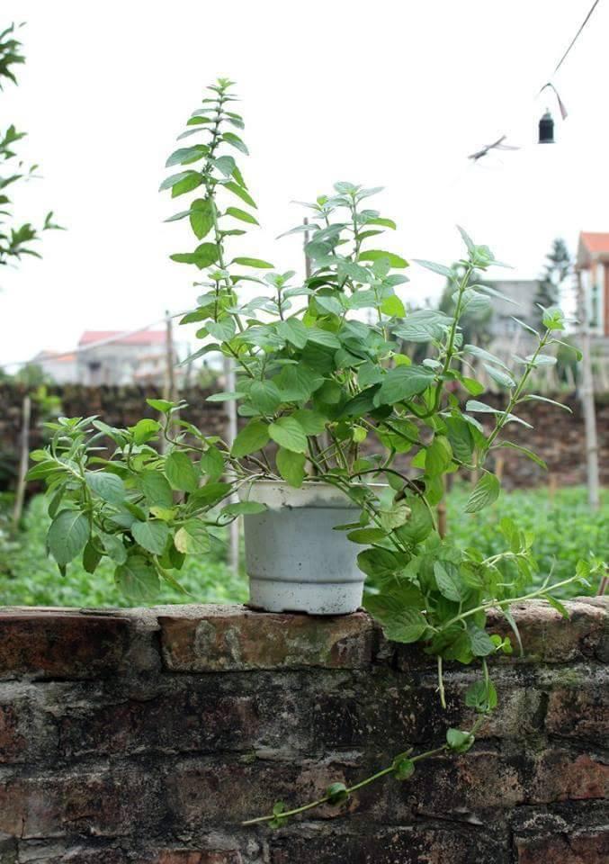 cây bạc hà thơm