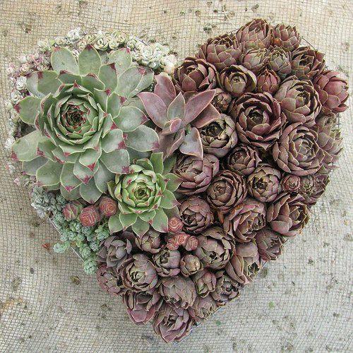 sen đá hình trái tim