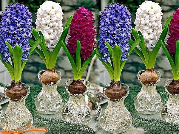 Cách trồng và chăm sóc hoa tiên ông5