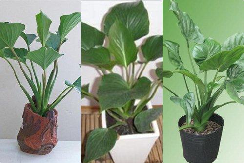 Cách trồng và chăm sóc cây thanh tâm1