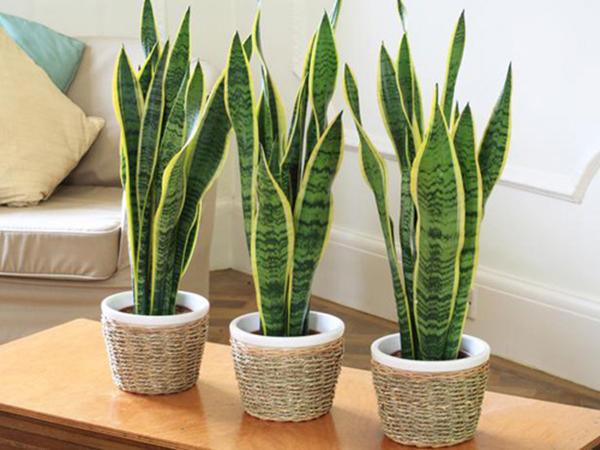 Các loại cây cảnh trồng trong nhà 5