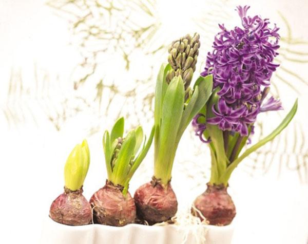 Cách trồng và chăm sóc hoa tiên ông2