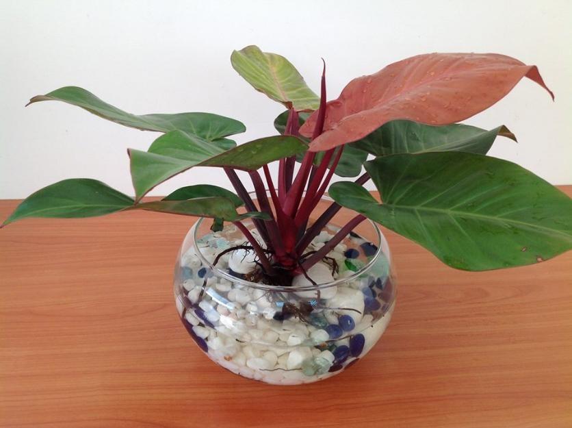 cách trồng và chăm sóc cây trầu bà