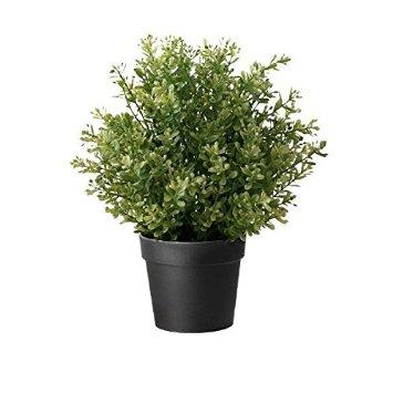 cách chăm sóc cây cỏ xạ hương 4