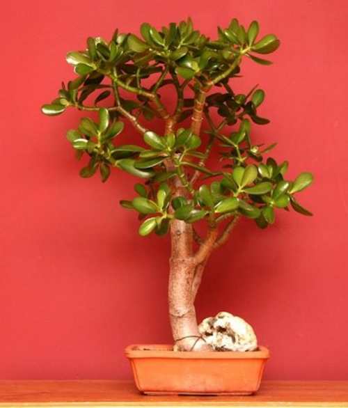 cây ngọc bích3