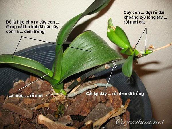 cách trồng và chăm sóc hoa lan hồ điệp 2