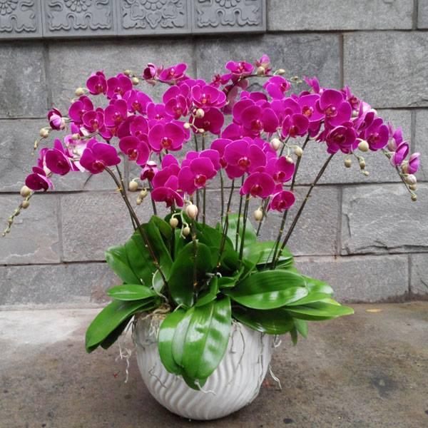 hoa lan hồ điệp tím2