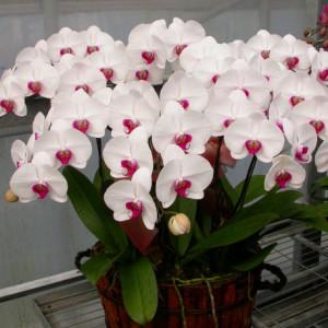 bán hoa lan hồ điệp trắng