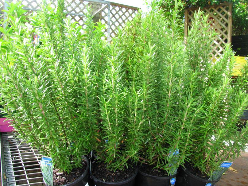cây trồng trong nhà đuổi muỗi hương thảo