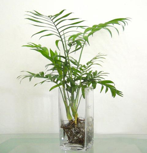 cây cau tiểu trâm trồng trong nước