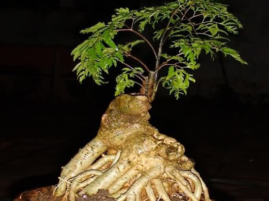 cây đinh lăng chữa bệnh gì 3