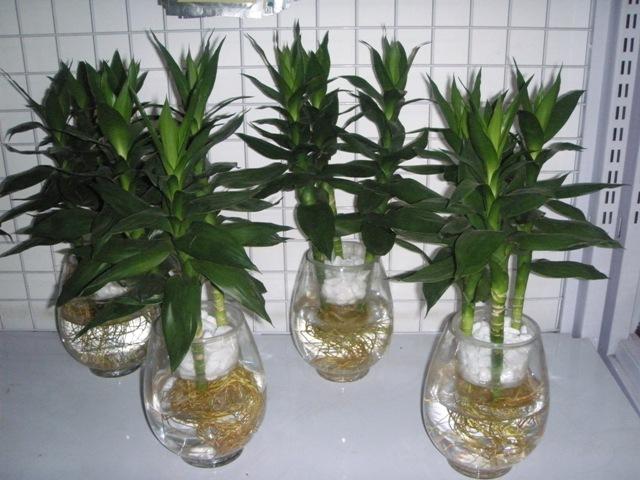 cây phát tài trồng trong nước