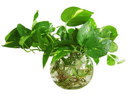 cây trầu bà trồng trong nước