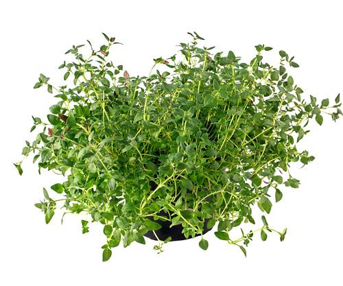 cỏ xạ hương bán ở đâu hà nội