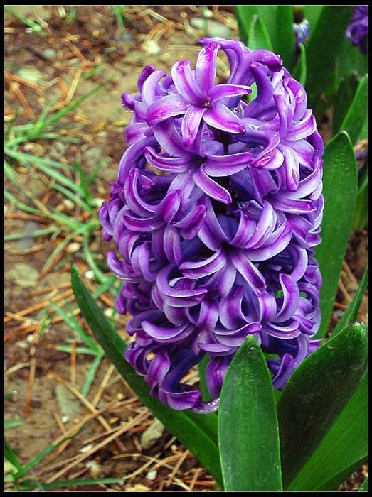 hoa dạ lan hương3