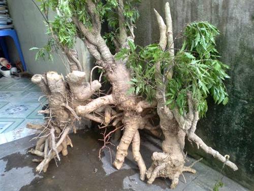 công dụng của cây đinh lăng 2