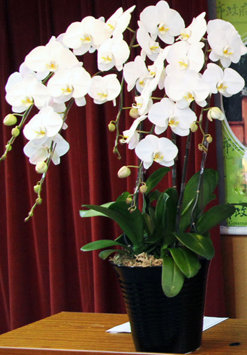 hoa lan hồ điệp trắng3