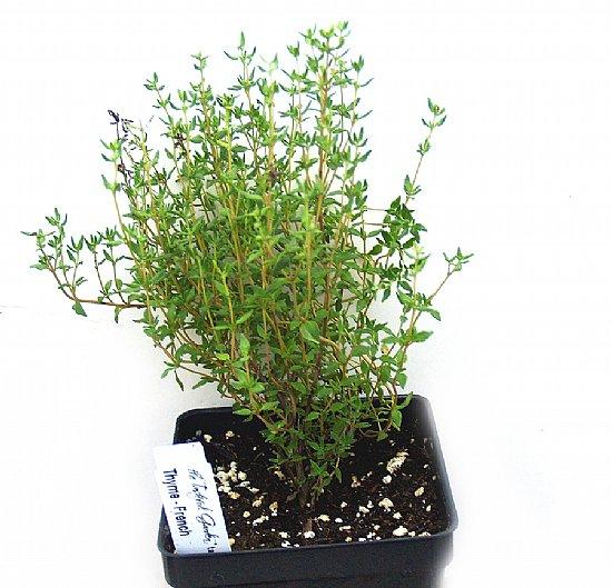 cách chăm sóc cây cỏ xạ hương 3