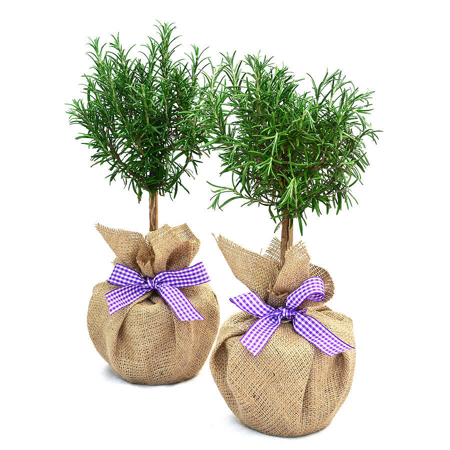 giá cây hương thảo là bao nhiêu tại hà nội