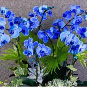 hoa lan hồ điệp màu xanh da trời