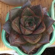 hoa sen đá bông hồng đen