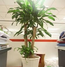 Cách trồng và chăm sóc cây thiết mộc lan1