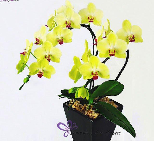hoa lan hồ điệp vàng2