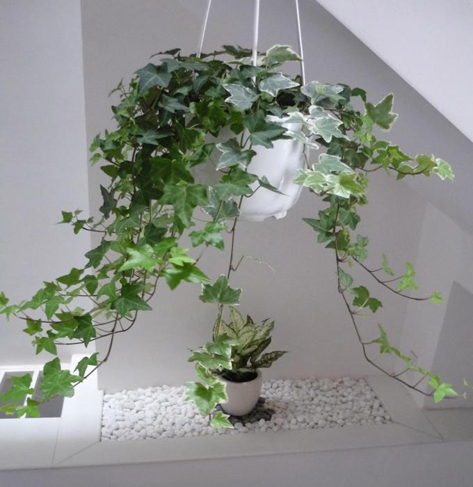 cây thường xuân