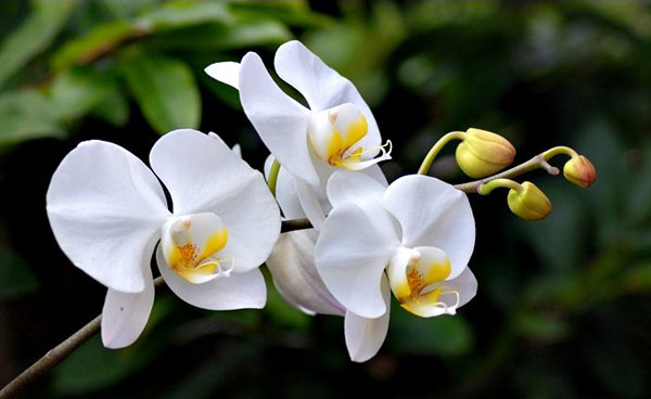 hoa lan hồ điệp trắng1