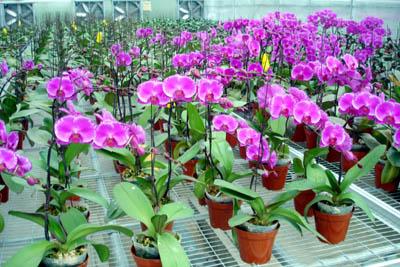cách trồng và chăm sóc hoa lan hồ điệp 1