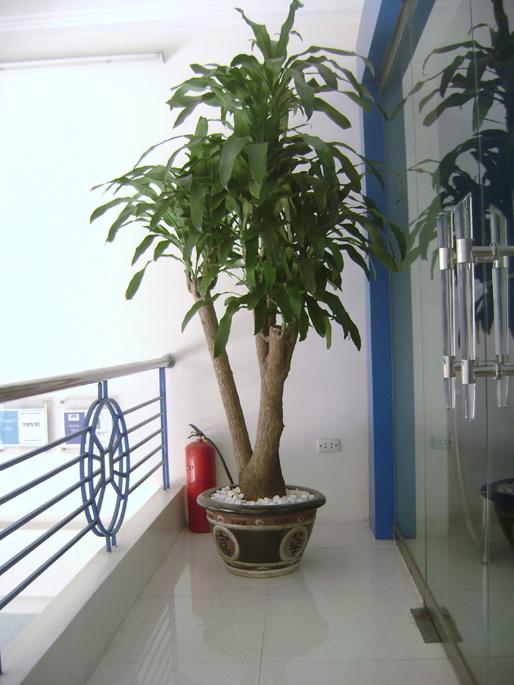 cây thiết mộc lan3