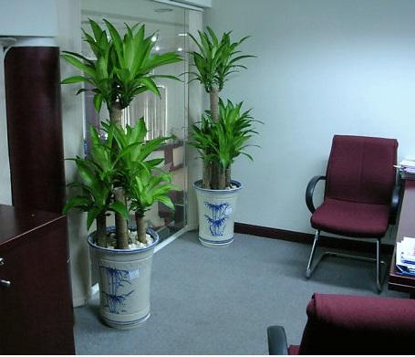 Cách trồng và chăm sóc cây thiết mộc lan2