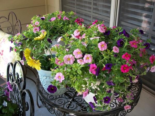cách trồng và chăm sóc hoa dạ yến thảo