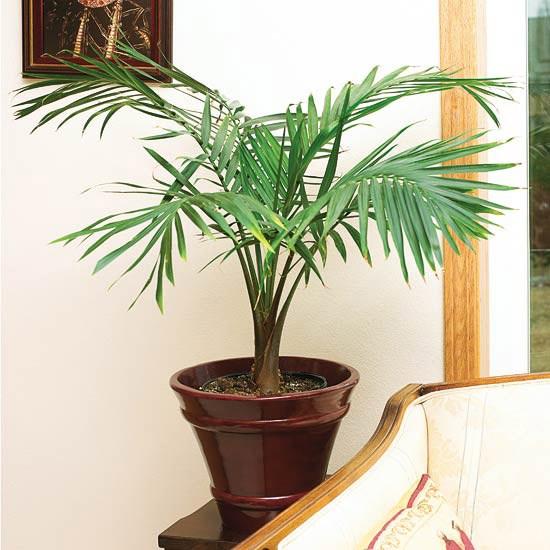 những loại cây thanh lọc không khí trong nhà -cau-tieu-tram-dep
