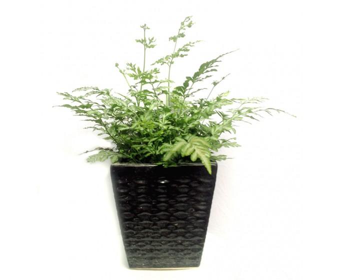 ý nghĩa cây dương xỉ trong phong thủy2