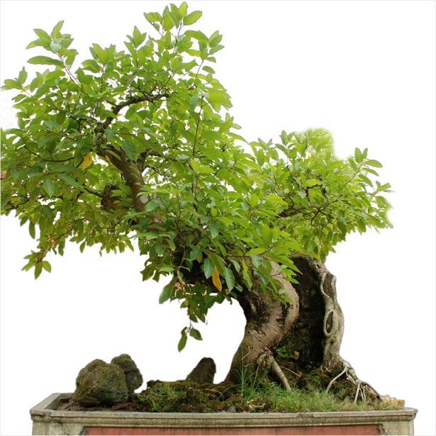 cây sung cảnh1