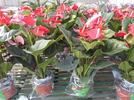 ý nghĩa cây hồng môn trong phong thủy1