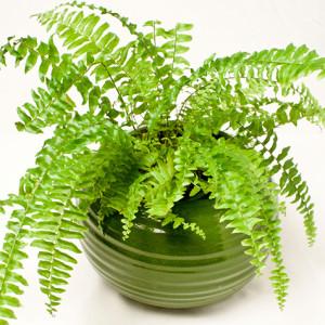 cây dương xỉ trồng trong nhà