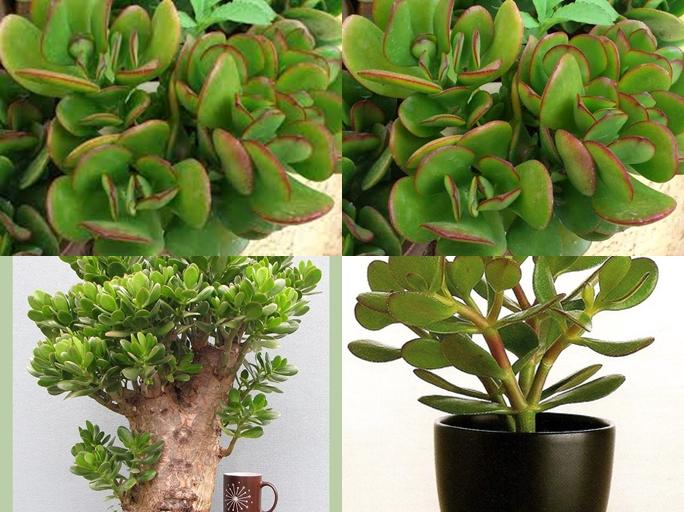 cách trồng và chăm sóc cây ngọc bích 3