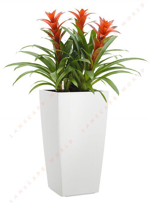 cách chăm sóc cây dứa cảnh nến đỏ3