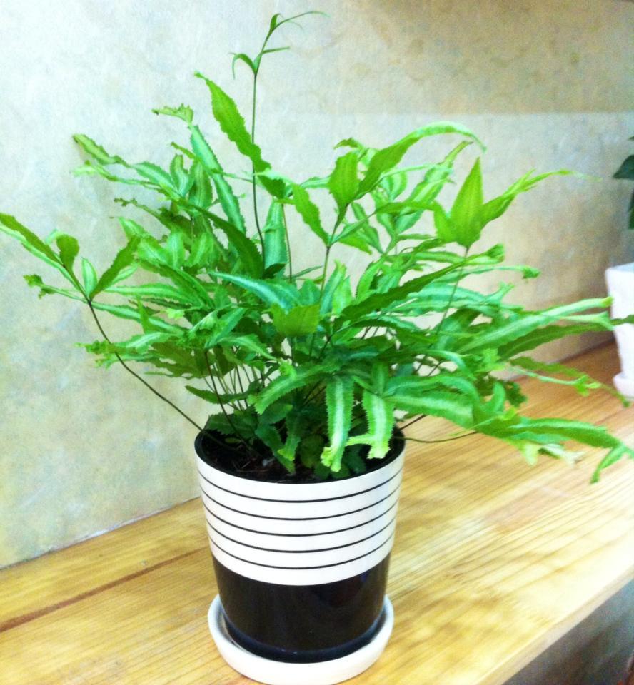 ý nghĩa cây dương xỉ trong phong thủy3