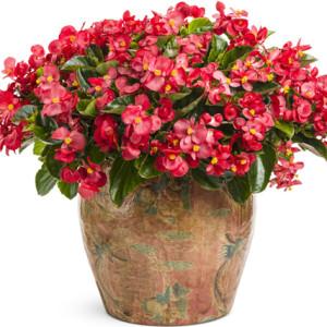 hoa thu hải đường
