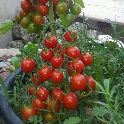 hạt giống cà chua cherry lùn f12