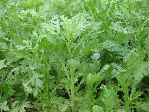 Cách ươm trồng hạt giống cải nếp cúc3