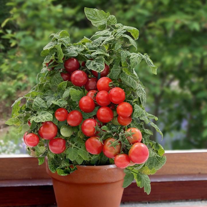 hạt giống cà chua cherry lùn f11