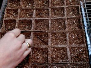 Cách ươm trồng hạt giống cải nếp cúc2