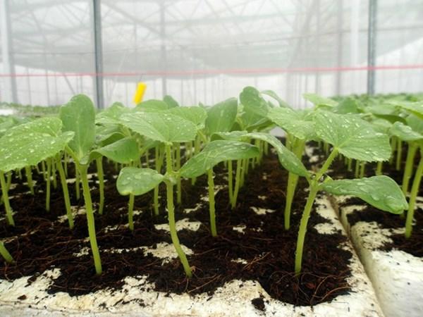 Cách ươm trồng hạt giống dưa lưới LS - 1555 F12