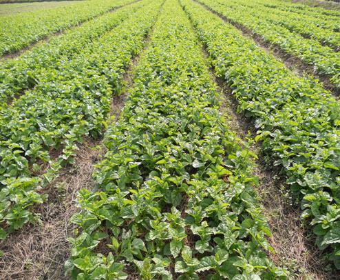 Cách trồng hạt giống rau mồng tơi cao sản 3